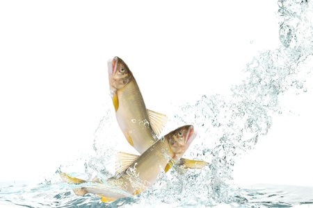 Fish to jump(Ayu) Stock Photo - 16185379