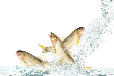 Fish to jump(Ayu) Stock Photo - 16185308
