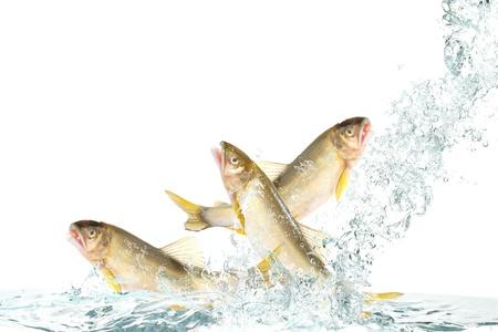 Fish to jump(Ayu)