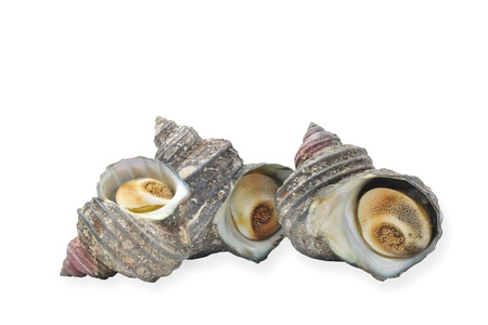 fishery products: Turban shell