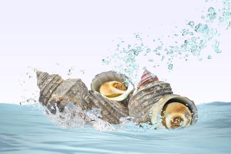Turban shell Stock Photo - 16336346