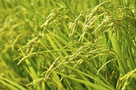 Ear of rice photo