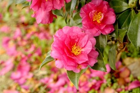 camellia: Camellia petals  Sasanqua