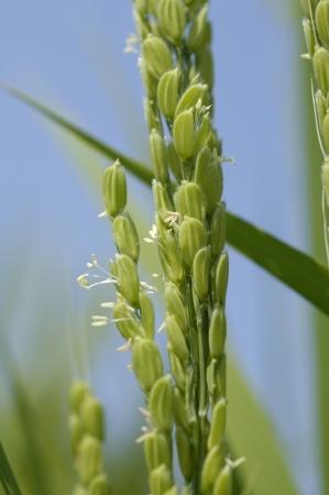 flowering field: Ear of rice