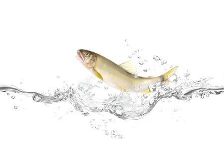 Fish to jump Ayu  Stock Photo - 18911342