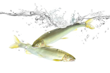 Fish to jump Ayu  Stock Photo - 18978126