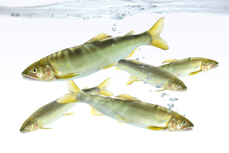 river fish: River fish in the aquarium Stock Photo