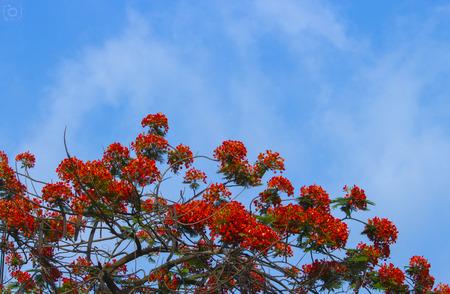 opium poppy: Red flower and blue sky