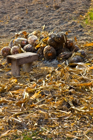rotting: Rural scene with rotting pumpkins