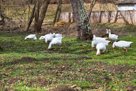 Domestic geese in the romanian traditional village eating grass