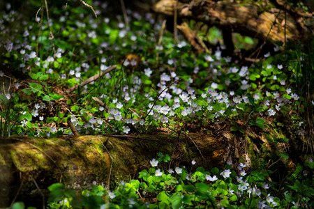 Spring beauty flowers in the mountain forest