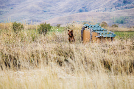 Brown guard dog tied up to his kennel, on open field Stock Photo