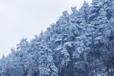 Fir forest during cold mountain winter