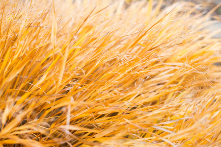 Autumn yellow grass as fall background