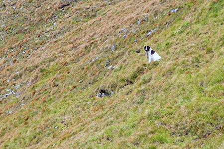 Carpathian sheperd dog standing alone in the mountain pasture