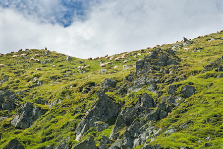 Sheep on Fagars mountains in Romania during summer Stock fotó