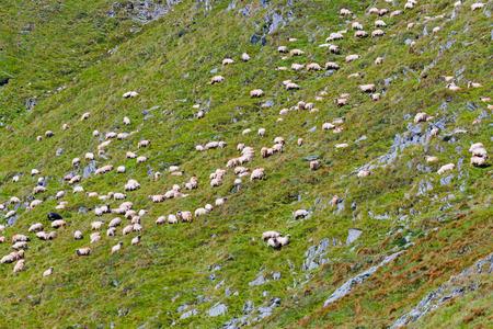 Sheep eating grass at high altidude in Fagars mountains