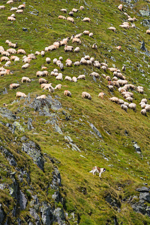 Sheep eating grass at high altidude in Fagars mountains, guarded by a dog