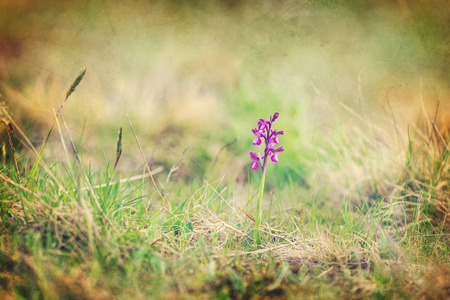 Single wild Morio orchid on the meadow - vintage style