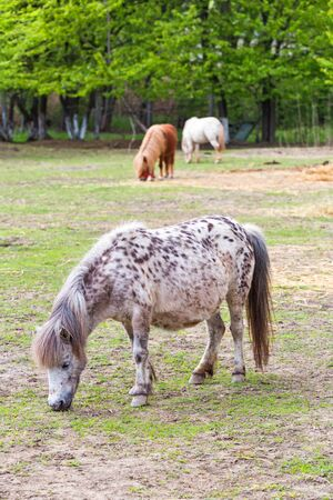 Cute pony grazing, having in background other ponies and forest Stockfoto