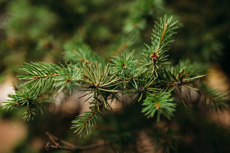 Tree,evergreen, New Year background image advertisingtext insertion Stock Photo