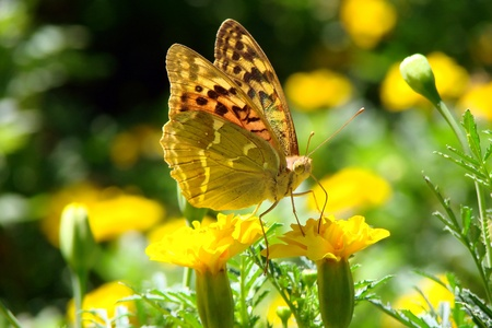 purple flowers: Brightly butterfly terfly on a beautiful, yellow flower Stock Photo