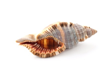 Cockleshell from sea  close up on white background Stock Photo - 9877914