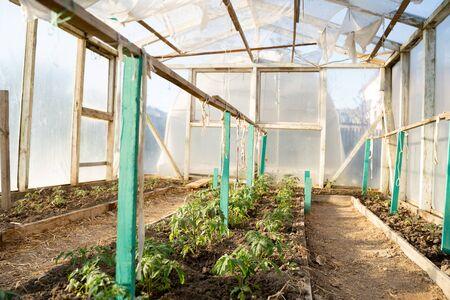 tomato seedlings, beautiful green in clean soil in a greenhouse