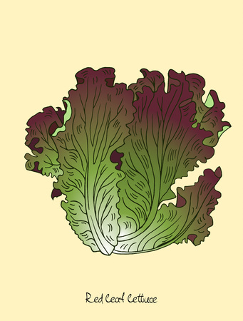 Red leaf lettuce vector illustration in engraved style with lettering.