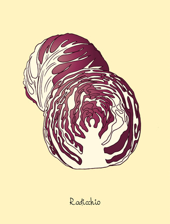 Radicchio lettuce vector illustration in engraved style with lettering.