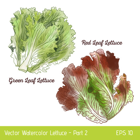Vector illustration with two lettuce sorts. Hand drawn watercolor red and green leaf lettuce. Suitable for mix lettuce package and print.