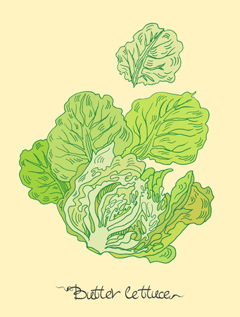 Vector hand drawn illustration with butter lettuce. Vettoriali