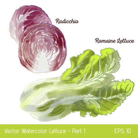 Vector illustration with two lettuce sorts. Hand drawn watercolor radicchio and romaine lettuce. Suitable for mix lettuce package and print.