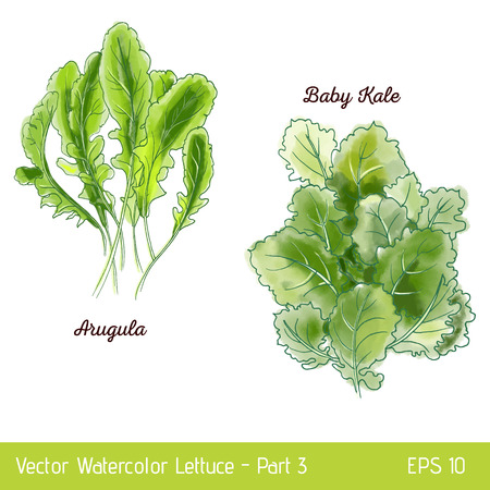 Vector illustration with two lettuce sorts. Hand drawn watercolor arugula and baby kale lettuce. Suitable for mix lettuce package and print.