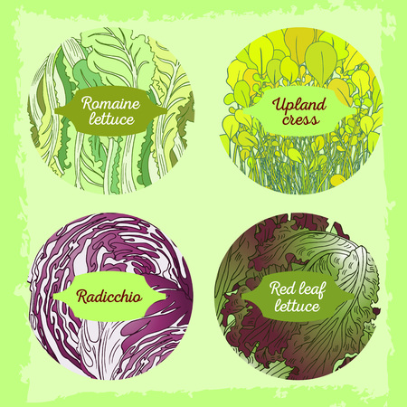 Hand drawn illustration with four lettuce sorts. Fully editable vector illusytration with clipping masks. Mix lettuce set on a background signed with letters on figured tables.