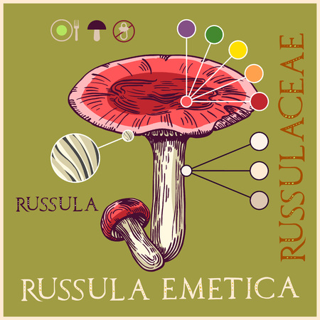 Russula mushroom in engraved style. Subscribed with characteristics and several titles. Vector illustration with infographic elements and lettering. Ilustração
