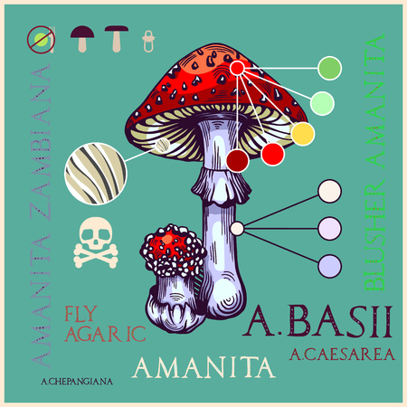 Fly agaric mushroom in engraved style. Subscribed with characteristics and several titles. Vector illustration with infographic elements and lettering.