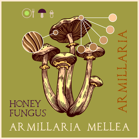 Honey fungus in engraved style. Subscribed with characteristics and several titles. Vector illustration with infographic elements and lettering. Ilustração
