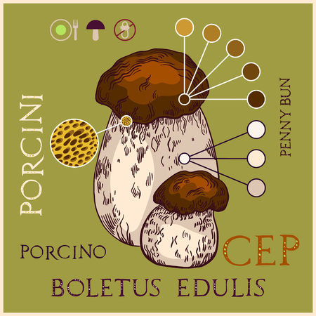 Porcini mushroom in engraved style. Subscribed with characteristics and several titles. Vector illustration with infographic elements.