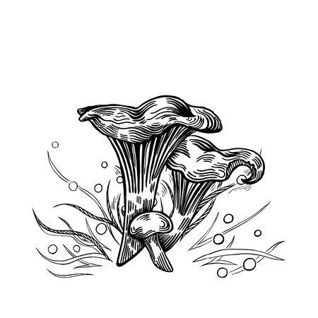 Girolle mushroom with grass on background in engraved style. Vector illustration.