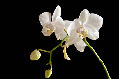 Beauty white orchid (Phalaenopsis) on black background