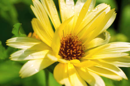 Closeup of the Calendula Flower (Calendula officianalis) Stock Photo