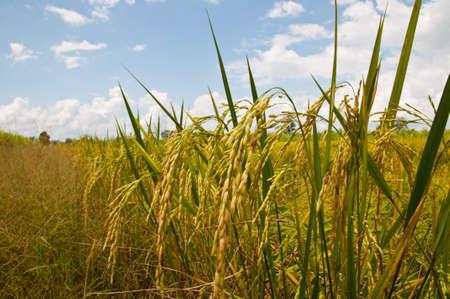 padi: Rice Field