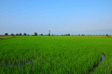 baby rice: Cultivation of baby rice and sky in morning