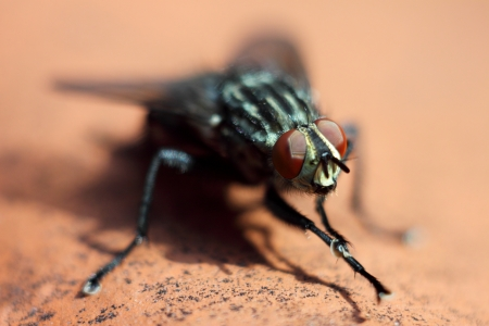 compound eyes: macro shot of a fly