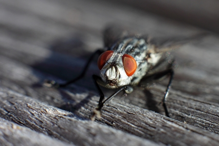 compound eye: macro shot of a fly