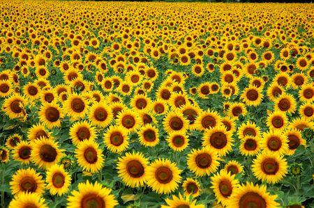 sameness: field of sunflowers Stock Photo