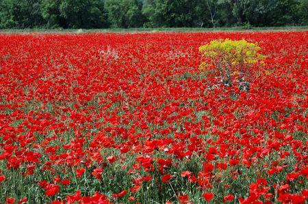sameness: a vaste red sea of flowery poppy