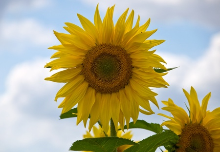 olio: sunflowers, each one different from the other