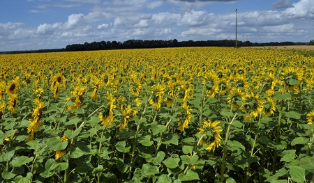 sunflowers, each one different from the other Stock Photo - 10973047